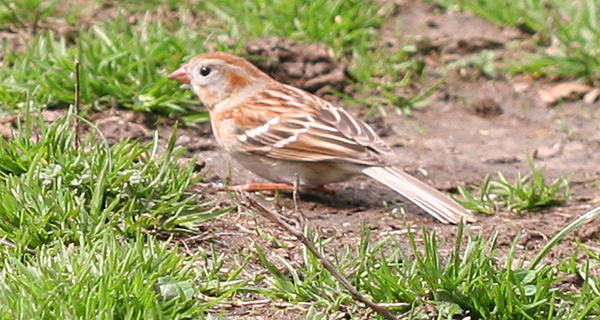 Field Sparrow in Central Park