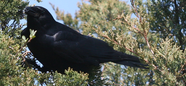 Fish Crow eating a cedar berry