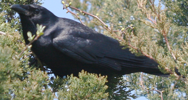 Fish Crow in a cedar tree.