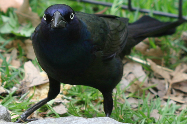 Common Grackle in Central Park
