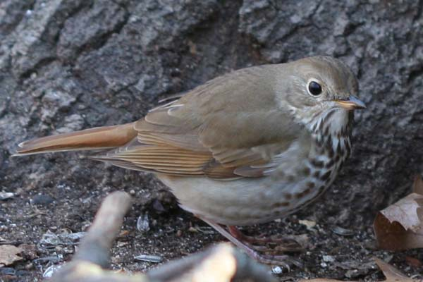 Hermit Thrush in Forest Park, Queens, NY