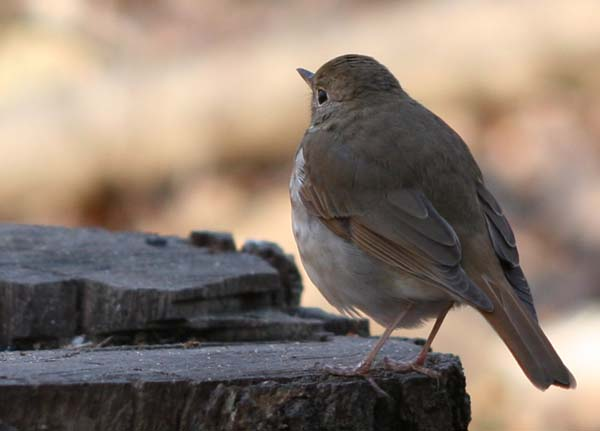 Hermit Thrush rear-view