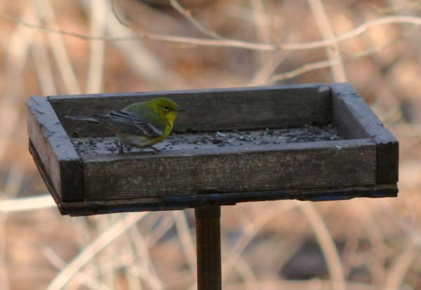 Pine Warbler on a feeder in Forest Park, Queens, NY