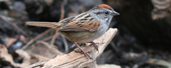 Swamp Sparrow in Central Park