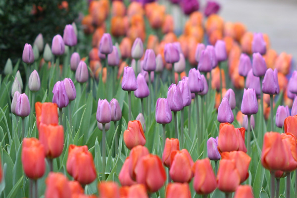 Tulips in Central Park\'s Conservancy Gardens