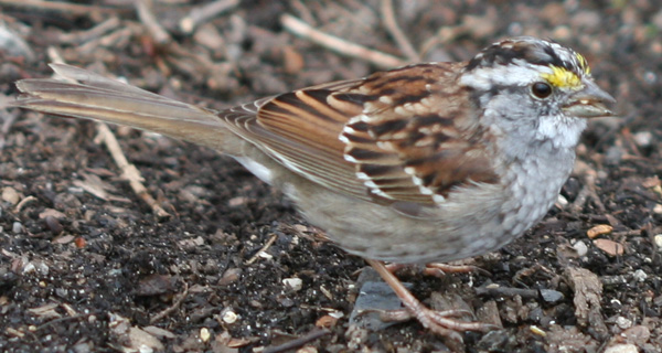 White-throated Sparrow in Central Park