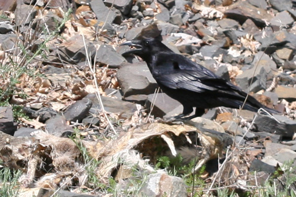 Common Raven on a deer carcass