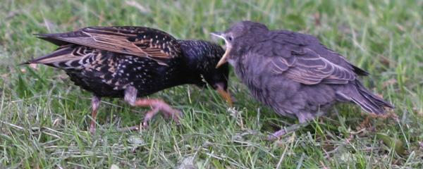 begging fledgling European Starling