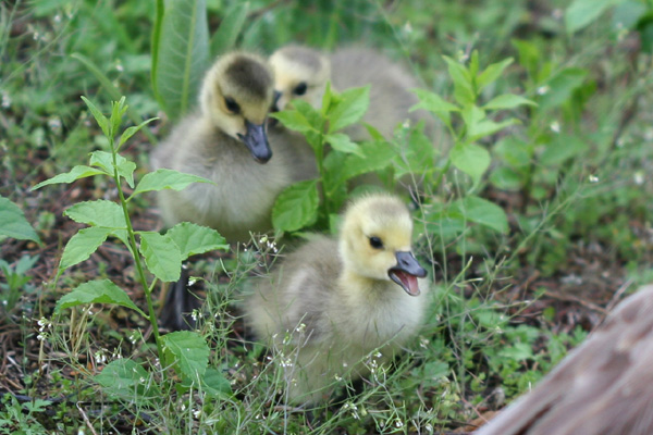 Goslings at Jamaica Bay