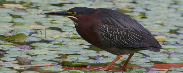 Green Heron at Forest Park