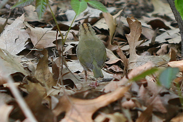 Ovenbird rear view