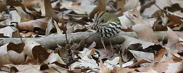 Ovenbird intent on something