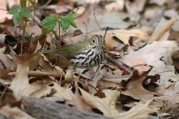 Ovenbird in Forest Park