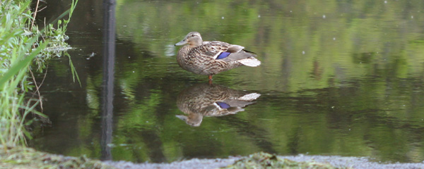 puddle duck