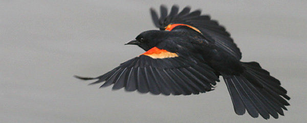 Red-winged Blackbird by Corey Finger