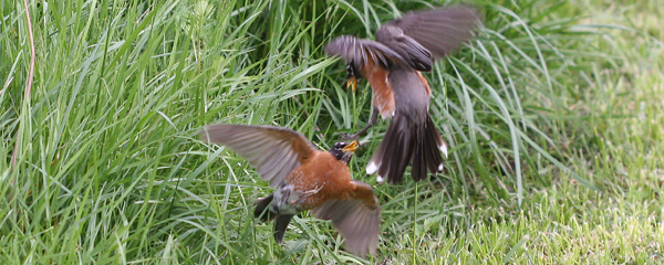 American Robins battling