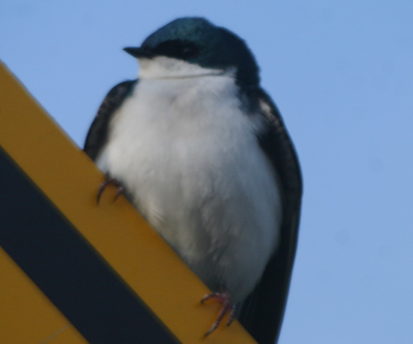 A Tree Swallow on a road sign