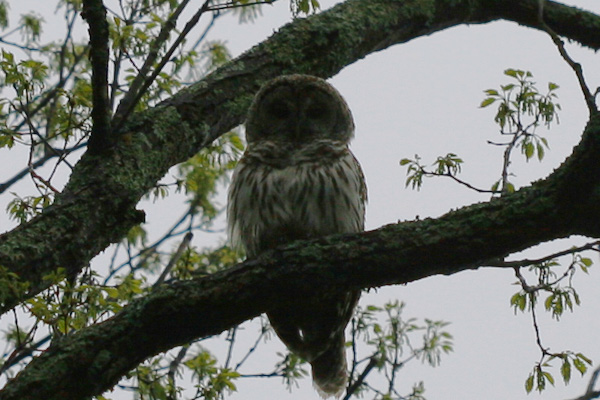 backyard Barred Owl