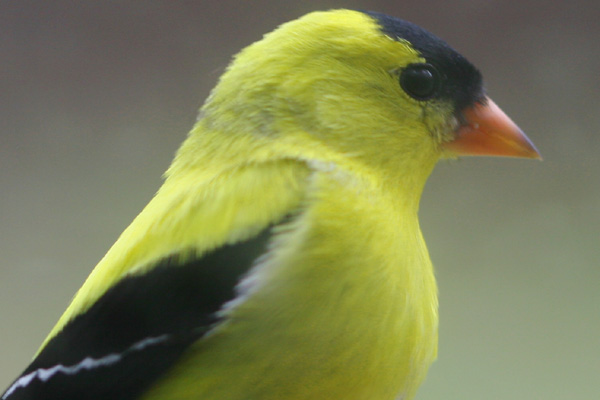 American Goldfinch in the window feeder