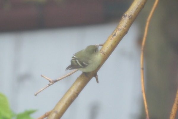 Yellow-bellied Flycatcher from my window