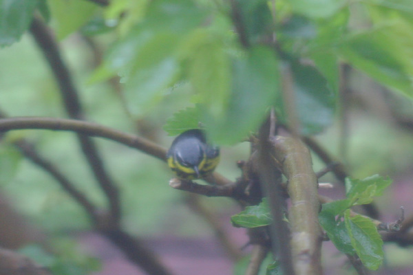 Magnolia Warbler from my window