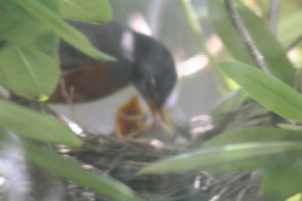 American Robin nestlings getting fed