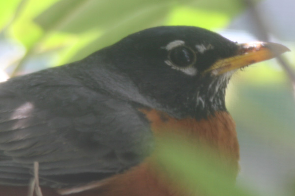 Proud parent of a nestful of robins