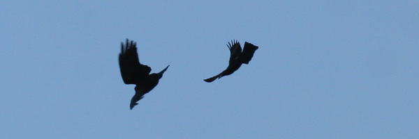 Boat-tailed Grackle and Fish Crow