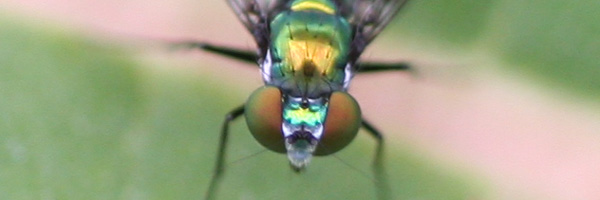 zoomed in on a dolichopodidae