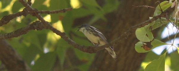 Cerulean Warbler at Doodletown Road