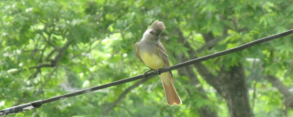 Great Crested Flycatcher Appears