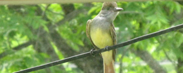 Great Crested Flycatcher Approaches