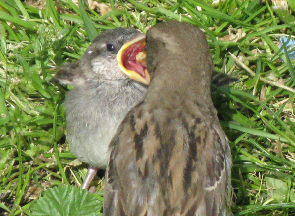 A fledgling House Sparrow getting fed