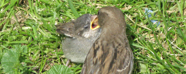 Fledgling House Sparrow being fed