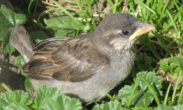 fully sated fledgling House Sparrow
