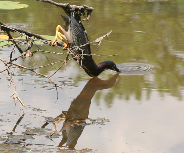 Green Heron hunting