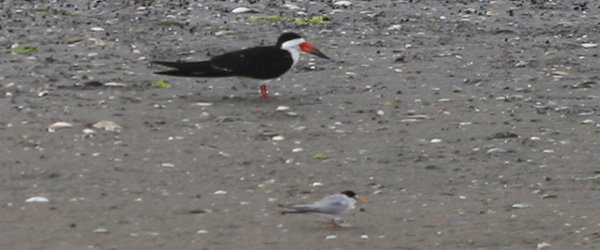 Black Skimmer and Least Tern