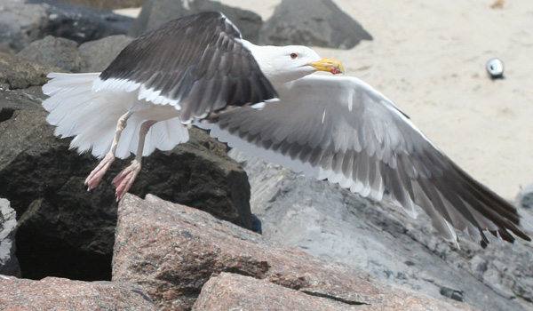 Great Black-backed Gull at Jones Beach