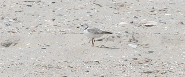 Piping Plover at Jones Beach