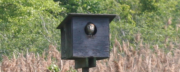 Barn Owl in Nest Box at Jamaica Bay