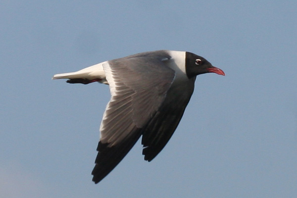 Laughing Gull in flight at Jamaica Bay