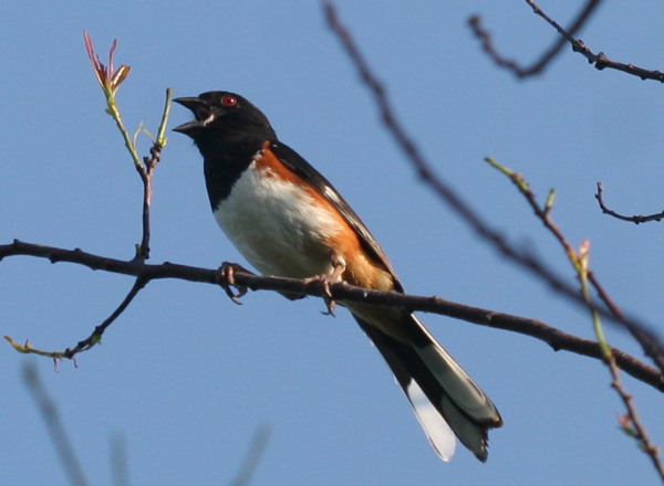 singing male Eastern Towhee at Jamaica Bay