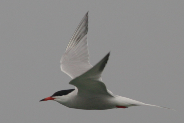 Common Tern at Cupsogue