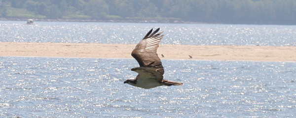 Osprey in flight at Sandy Hook