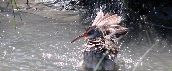 bathing Clapper Rail