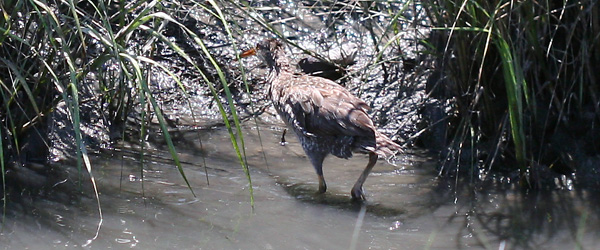 Clapper Rail going back into the marsh