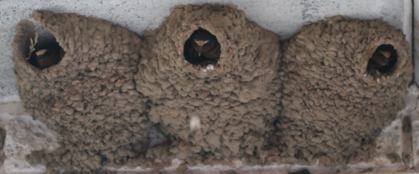 Three Cliff Swallows in their nest