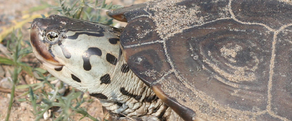 Close-up of a Diamondback Terrapin