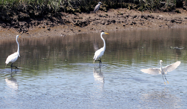 Great Egrets, Snowy Egret, and Yellow-crowned Night-Heron