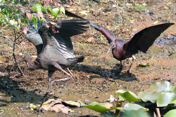 Glossy Ibis War
